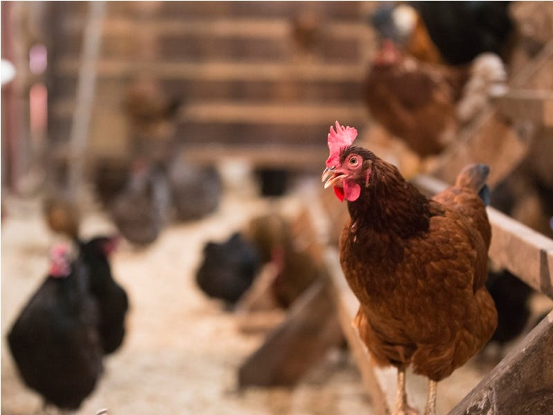 Are Chicks That Have Been Vaccinated for Marek's Disease Still Organic?