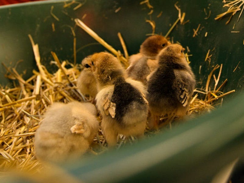 How to Keep Baby Chicks Warm Without Electricity