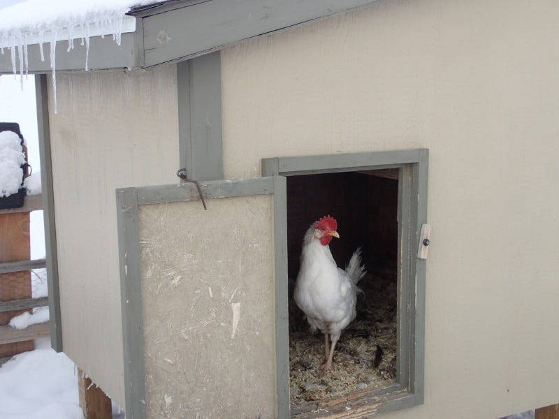 Chickens-need-protection-from-the-cold-wind.