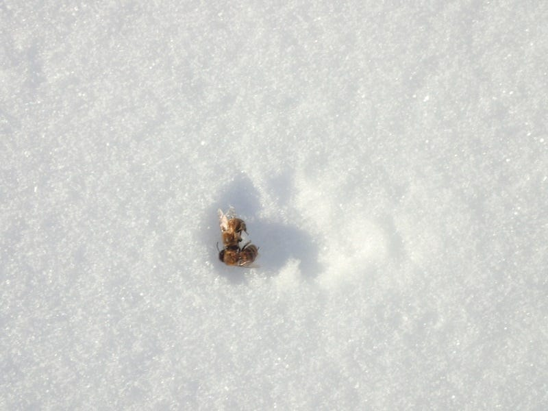 Don't be alarmed if you see dead bees in the snow.