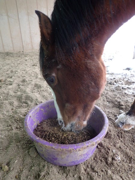 Feed-older-horses-pellets-to-ensure-adequate-nutrition